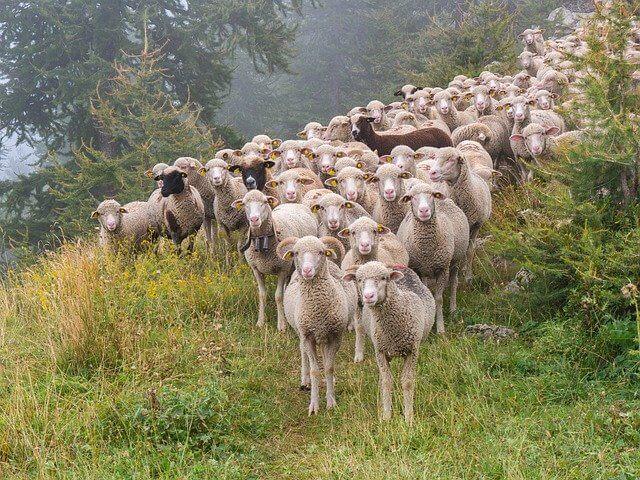 4 Ways To Count Sheep To Fall Asleep